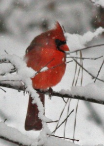 Cardinals Cold Toes