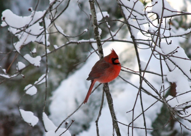 Cardinal in snow crop